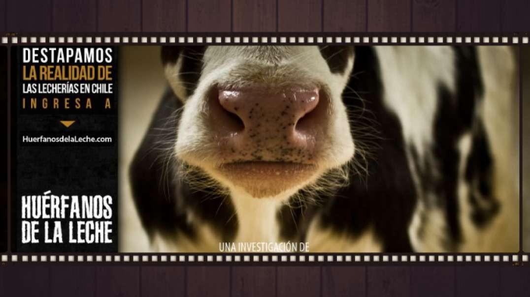 Huerfanos de la leche   Documental Salud
